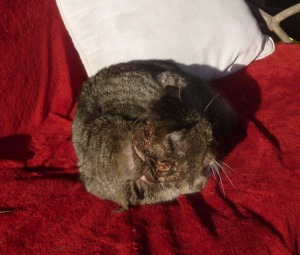 cat with neck wound