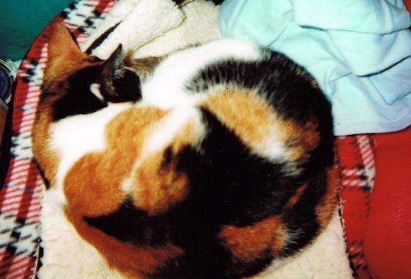 calico cat curled