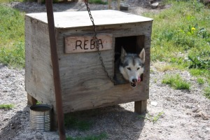 a husky sled dog in his shelter