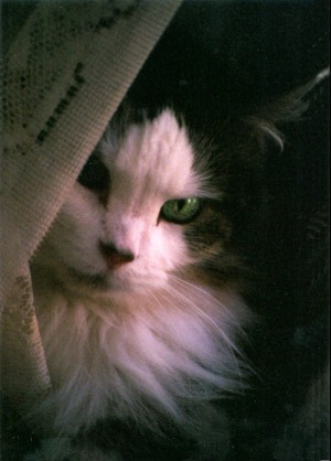 cat with curtain