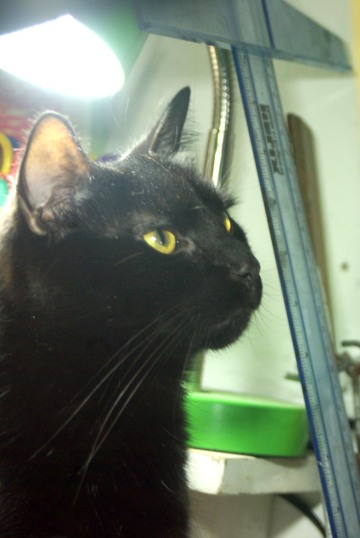 black cat looking intently at something