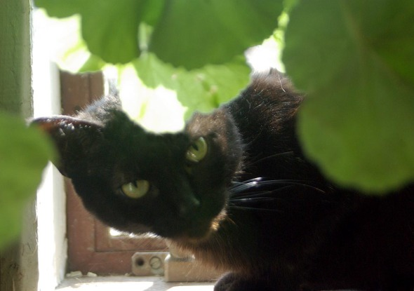 black cat looking out from under green leaves