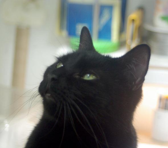 black cat staring upward