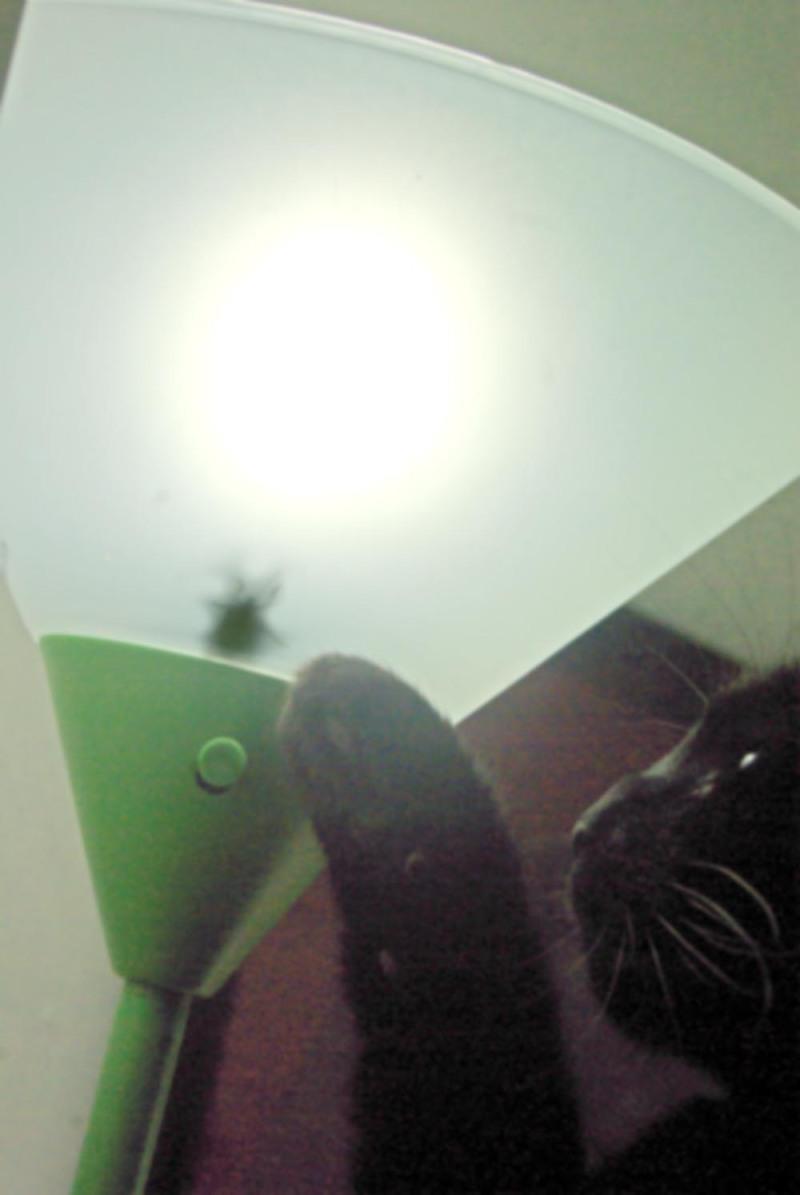 black cat with stinkbug in light