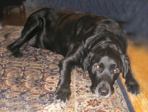 black lab on Oriental rug