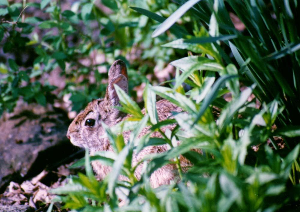bunny profile in spring garden