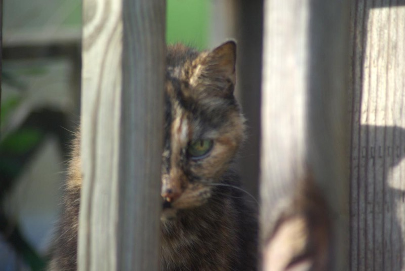 tortoiseshell cat looking through deck railing