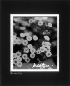 matted black and white photo of feverfew