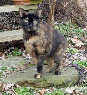 tortoisesehell cat outdoors