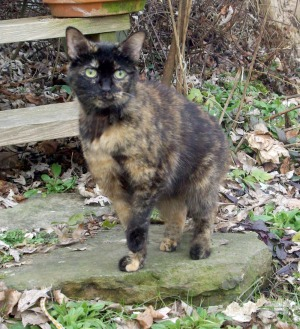 tortoisesehell cat outdoors