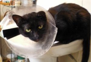 black cat with collar