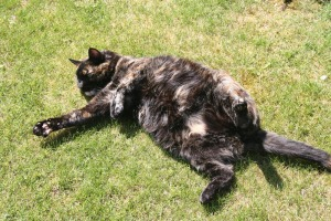 tortie cat in the grass