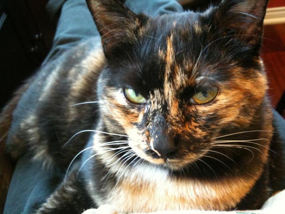 tortoiseshell cat face
