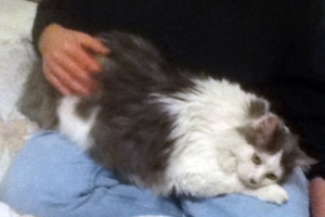 long-haired gray and white cat on lap