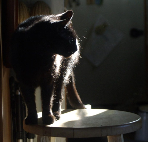 highlighted and silhouetted black cat in sun