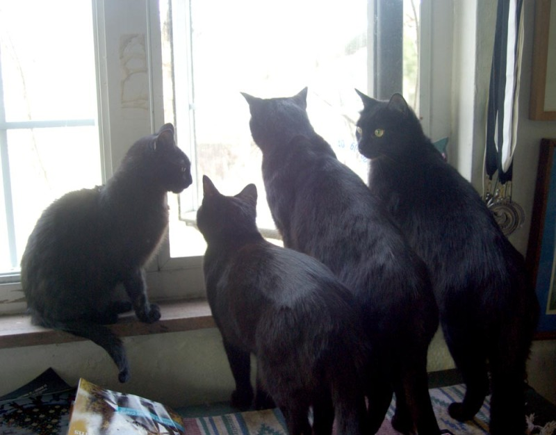 four black cats looking out window