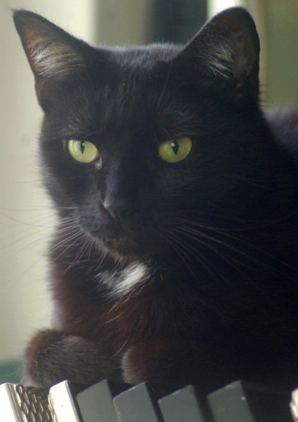 black cat with white spot and green eyes