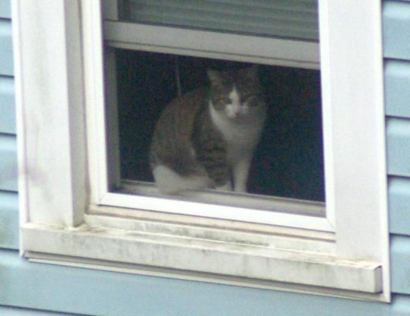 tabbya nd white cat in window