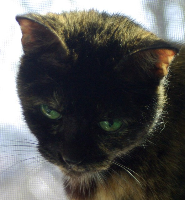 tortoiseshell cat with green eyes