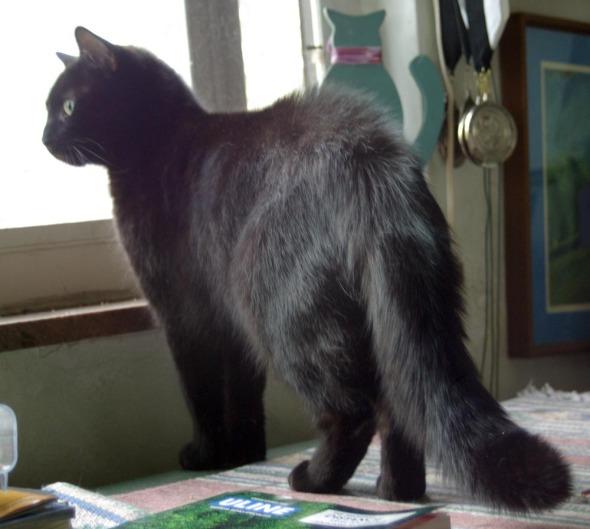 puffy black cat