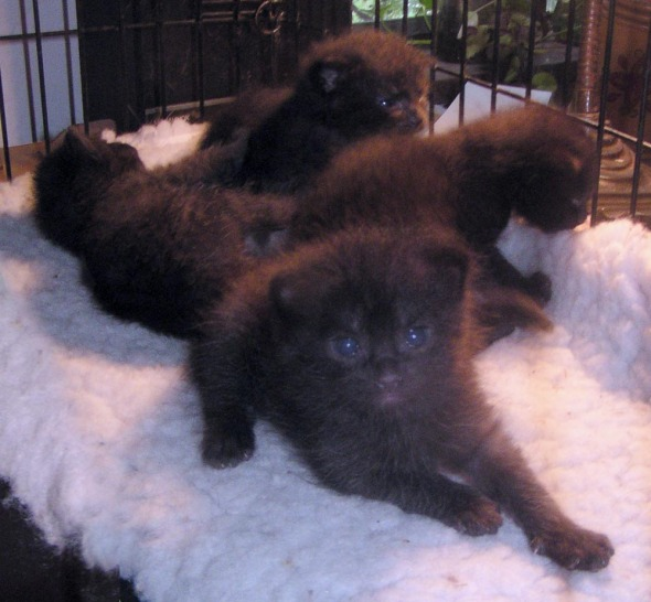 four black kittens