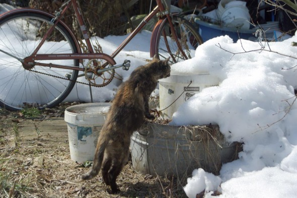 tortoiseshell cat outdoors with snow