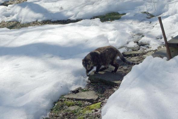 tortoiseshell cat on path in snow