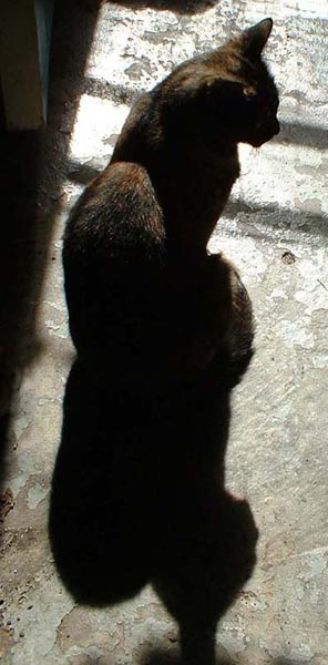 tortoiseshell cat in sun