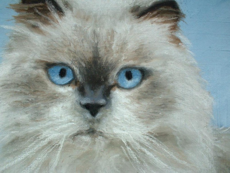 closeup of portrait of himalayan cat