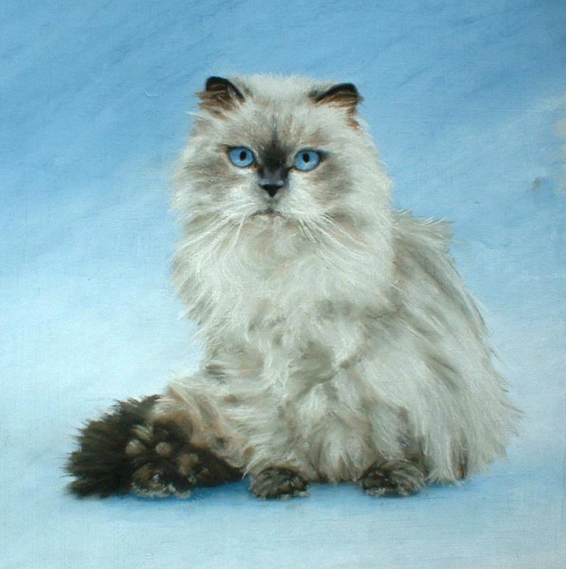 full portrait of himalayan cat