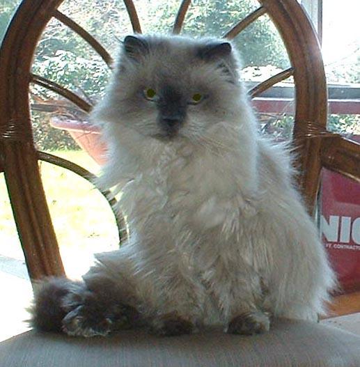 photo of himalayan cat