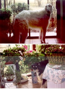 photos of borzoi dogs