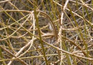 sparrow in forsythia