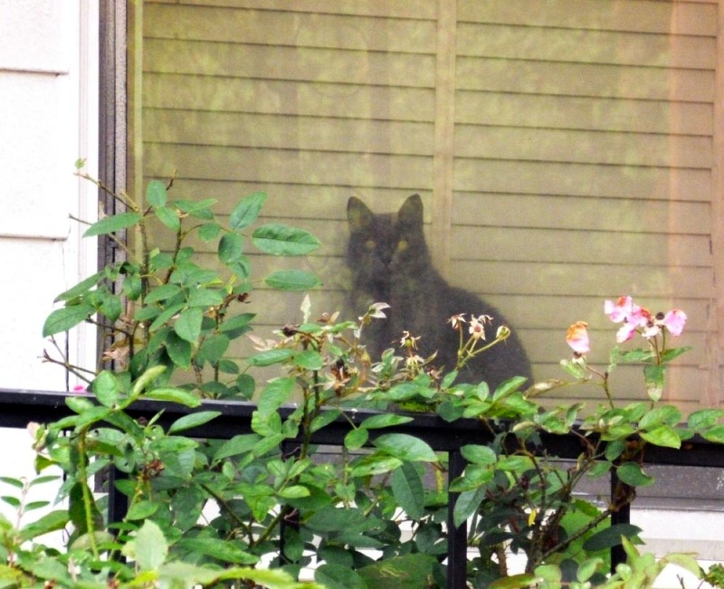 gray cat on windowsill with pink roses