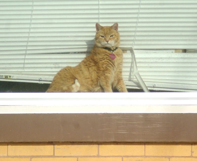 Orange and white cat on windowsill