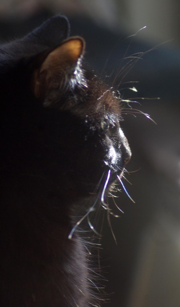 black cat in profile