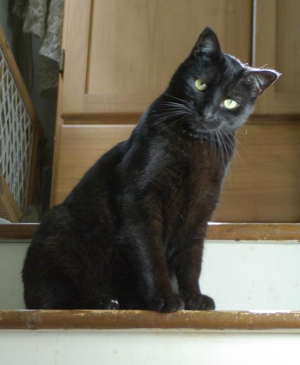 black cat looking serious
