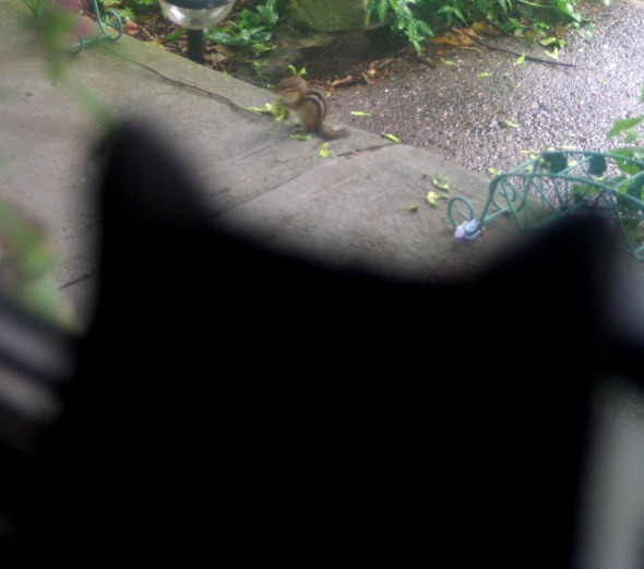 black cat with chipmunk