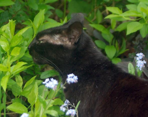 black cat flehmen