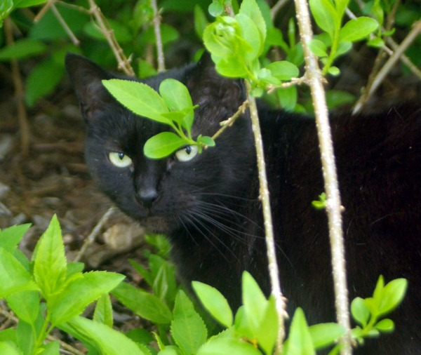black cat peeking from leaves