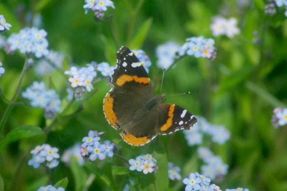 red admiral butterfly in forget-me-nots