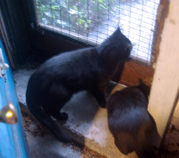 two black cats at the door