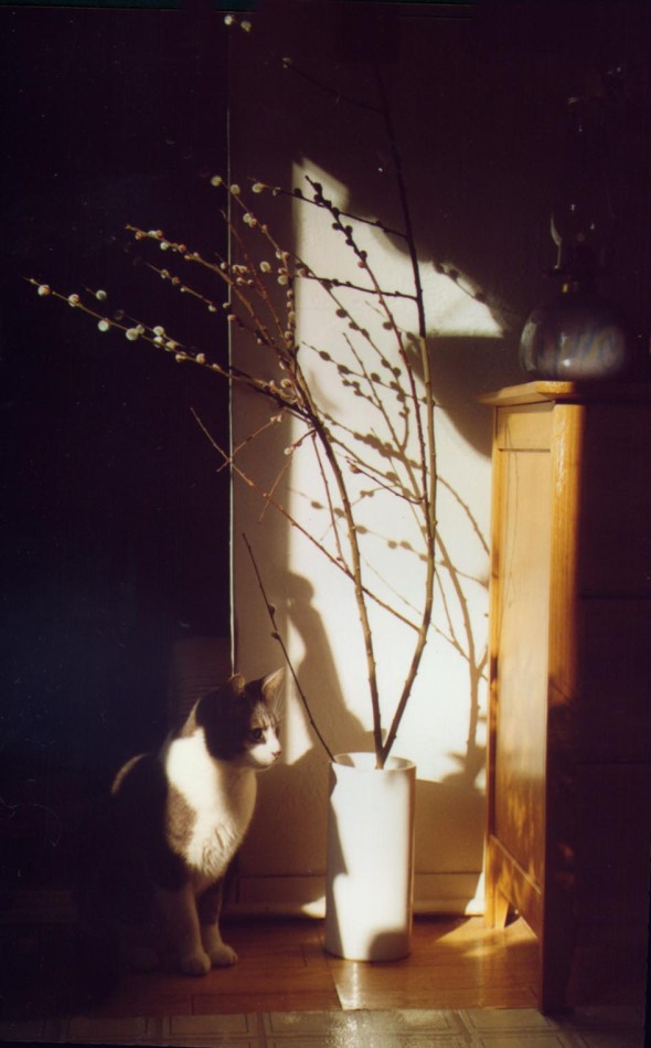 photo of cat sitting by pussy willow in angled sun