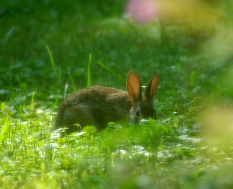 wild rabbit in back yard