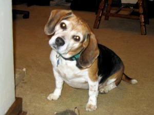 photo of beagle