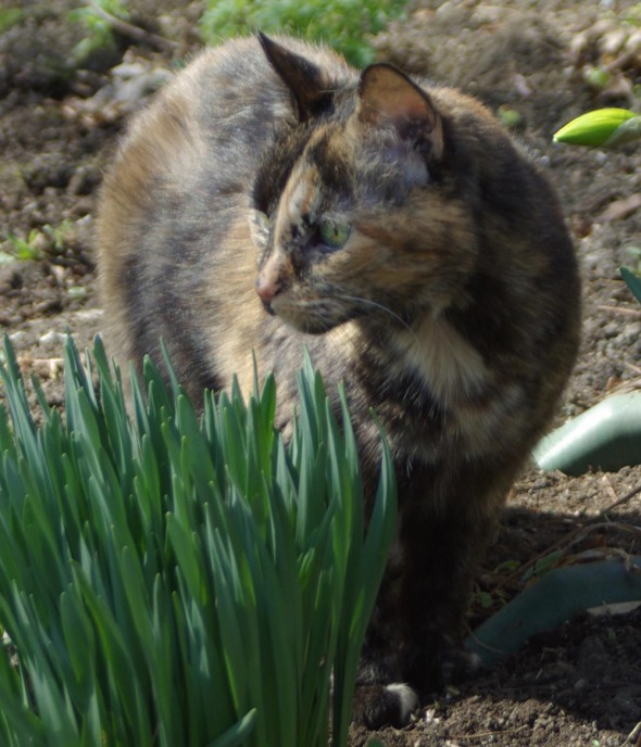 tortoiseshell cat with daffodil greens