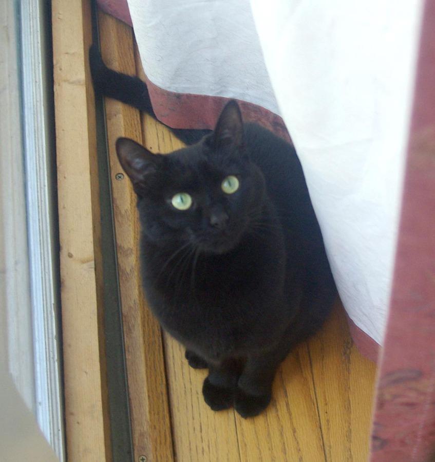 black cat behind curtain