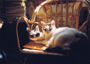 two calico cats on chair in sun