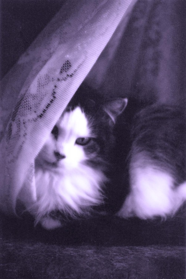 black and white cat with curtain