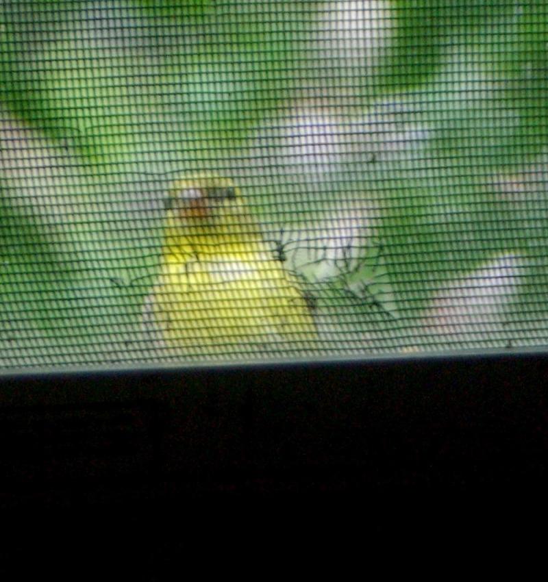 Goldfinch looking in window.